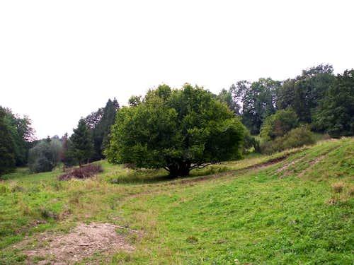 Huge tree of...