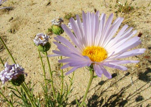 Red Rock Aster