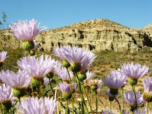 Mojave Asters and Cliff