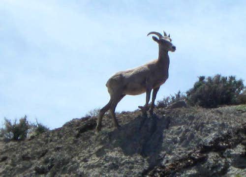 Desert Bighorn on Gottlieb Pk