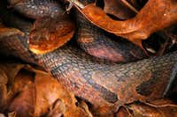 Watauga Reserve Northern Copperhead
