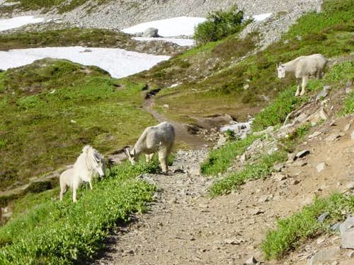 Family of mountain goats on...