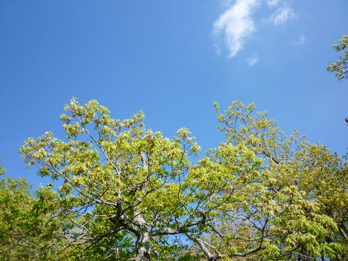 Blue sky and spring trees