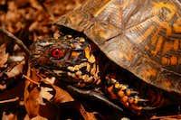 Watauga Reserve Eastern Box Turtle