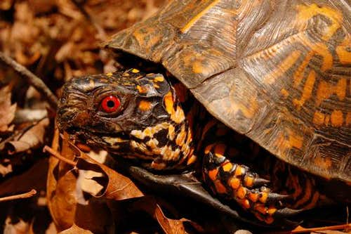Watauga Reserve Eastern Box Turtle