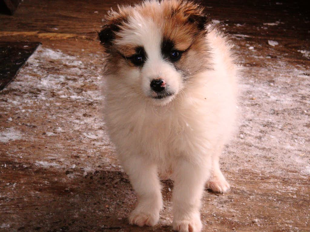 PUPPY FROM THE BARCACIU HUT