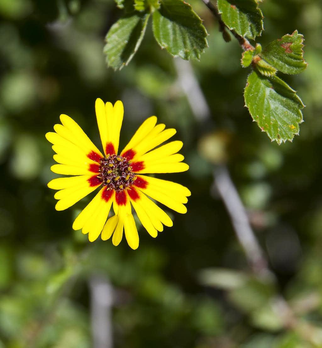 Showy Tarweed (<i>Madia elegans ssp. densifolia</i>)