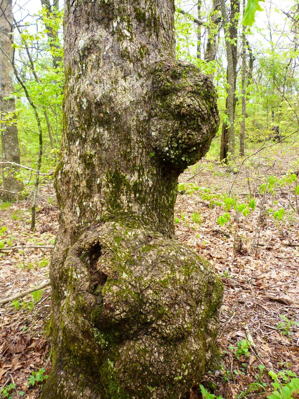 Gnarly white oak on Ball Mountain