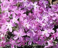 Long Leaved Phlox