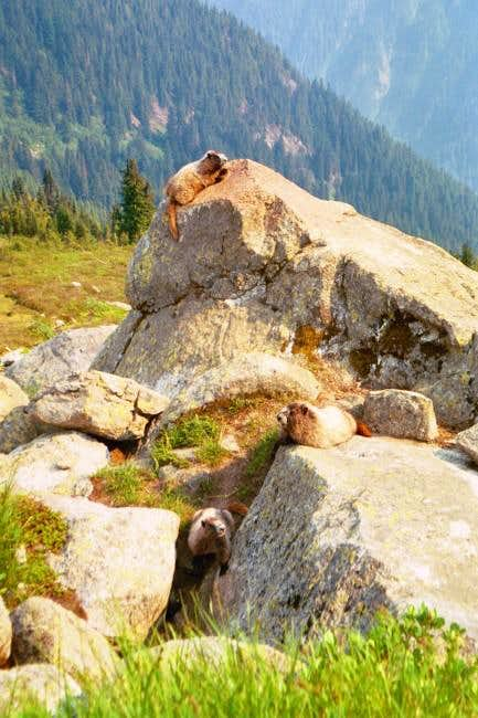 The Marmots were enjoying the...