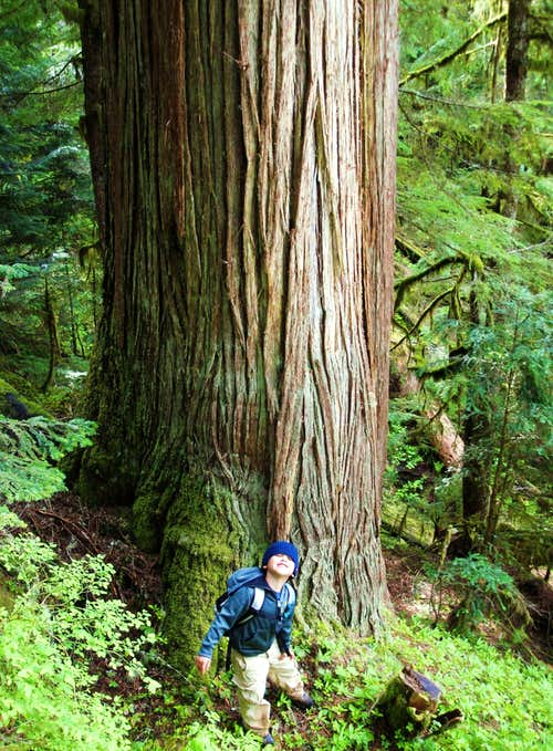Old Growth Cedar