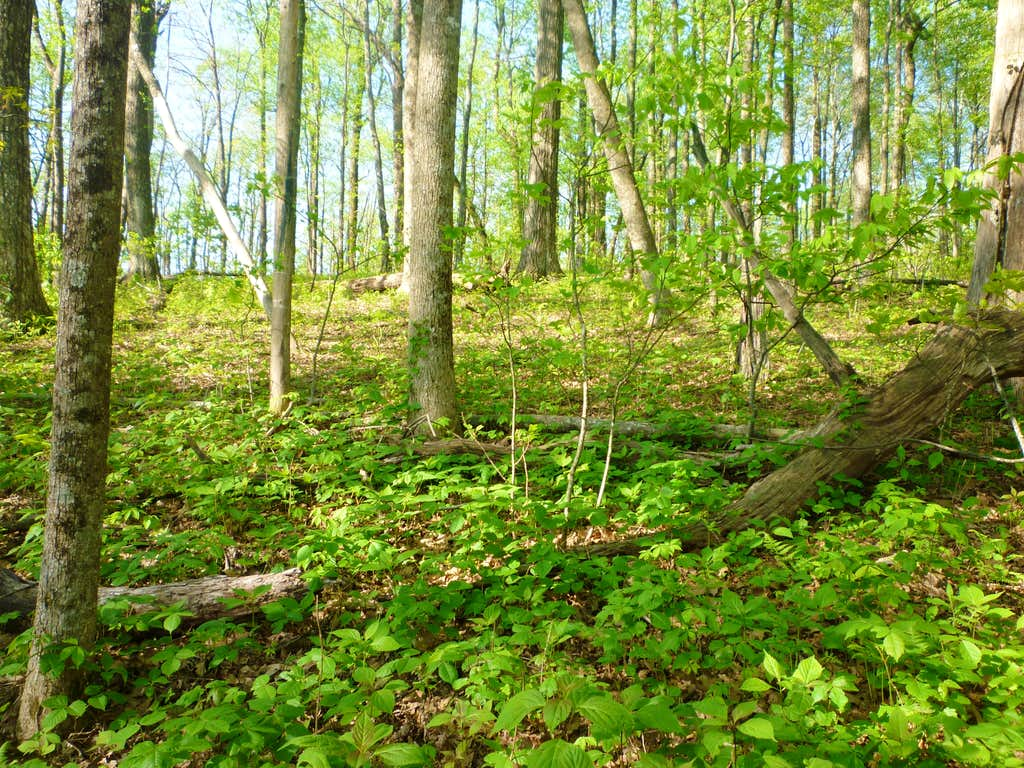 Hardwood forest on Granny Top