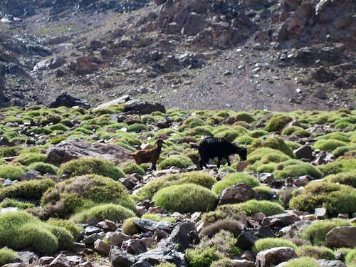 Mountain Goats (for trip report)