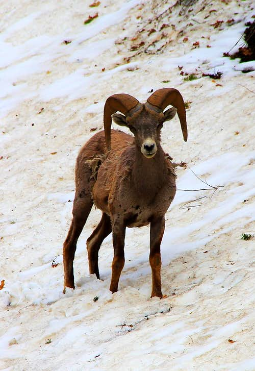 Bighorn Sheep, Upper Pole Coulior.