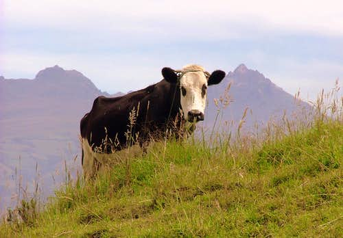 Cattle on Ilaló.