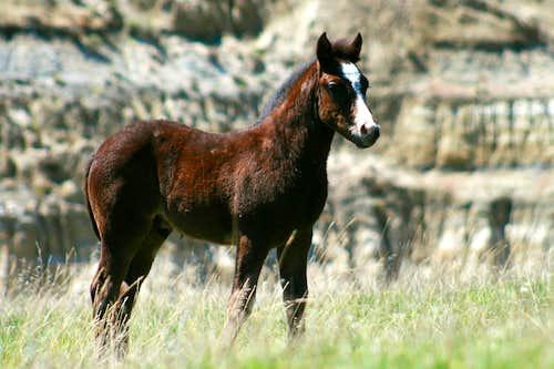 Wild Foal in TRNP