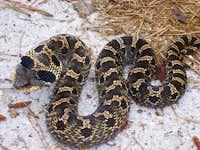 Eastern Hog Nose Snake