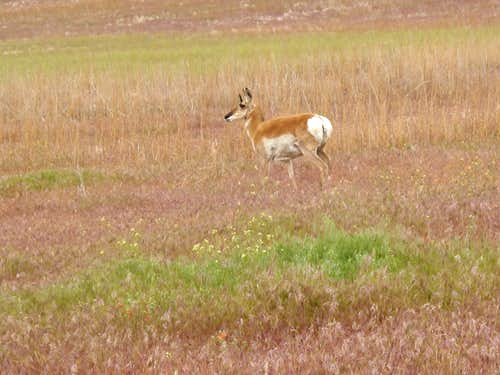 Mother antelope