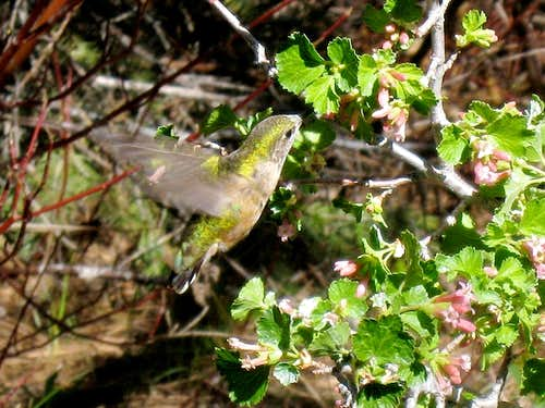 Anna's Hummingbird Feeding by Little Kern River