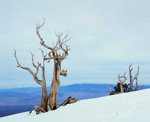Bristlecone on Fletcher Peak