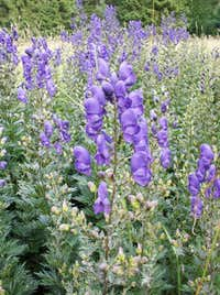 Variegated Monkshood...
