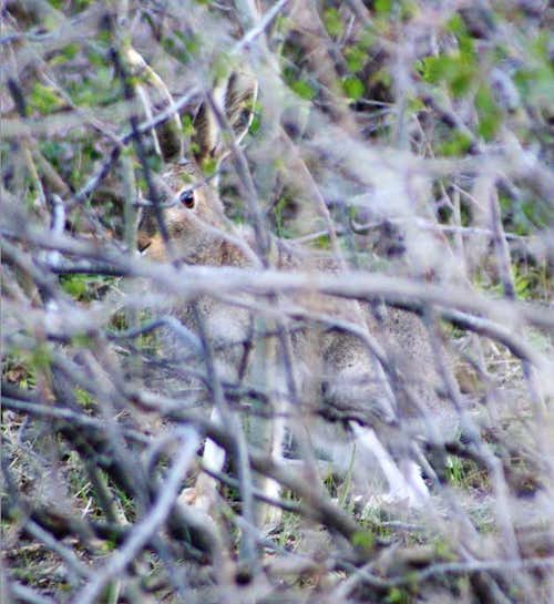 camouflaged jackrabbit