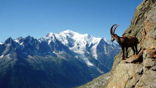Ibex in the Aiguilles Rouges facing Mont Blanc
