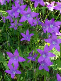 Campanula patula (Spreading Bellflower)