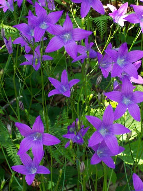 Campanula patula (Spreading Bellflower)