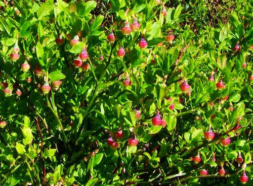 Vaccinium vitis-idea (lingonberry)