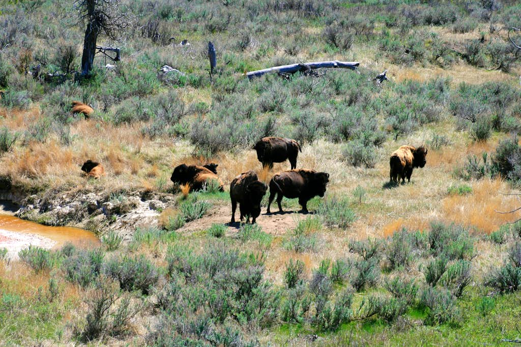 Bison and Paddock Creek