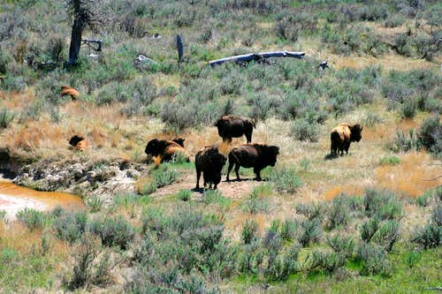 Bison and Paddock Creek