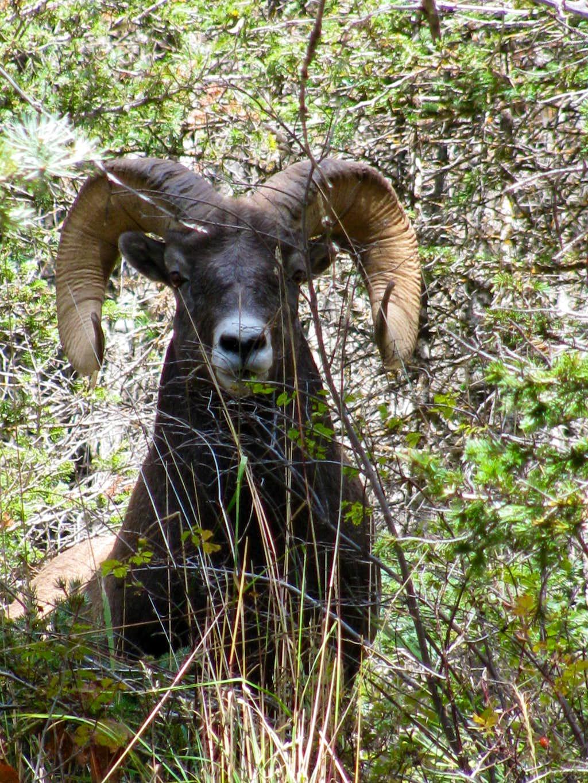 Rocky Mt. Big Horn Ram