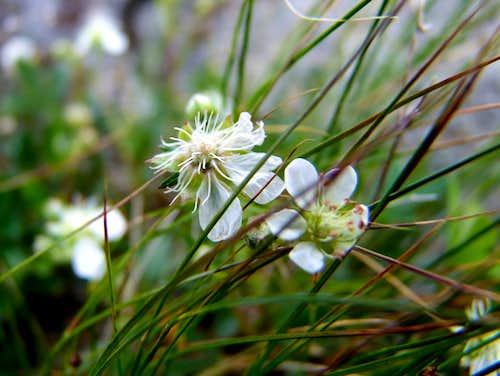Flowers On Pumpelly Ridge