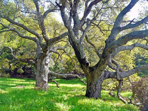 Old Oaks on Burdell Mtn.