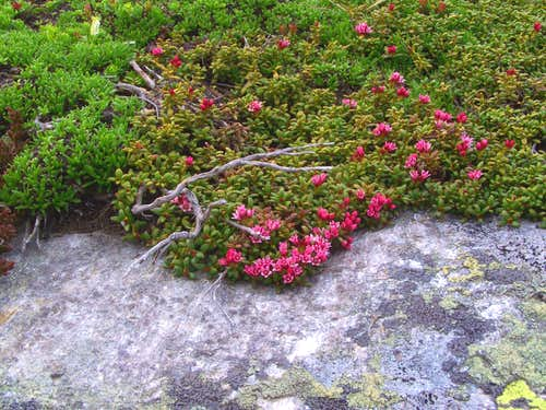 Stonecrop on Kleiner Speikkogel