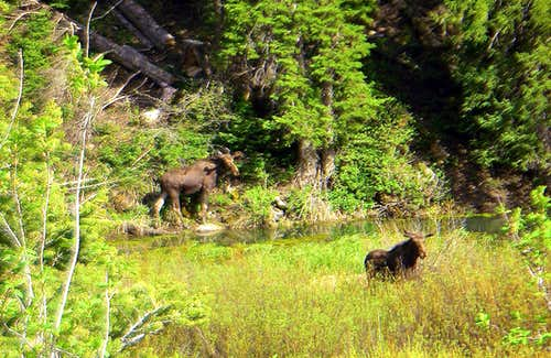 Two Moose at the base of Kessler Peak