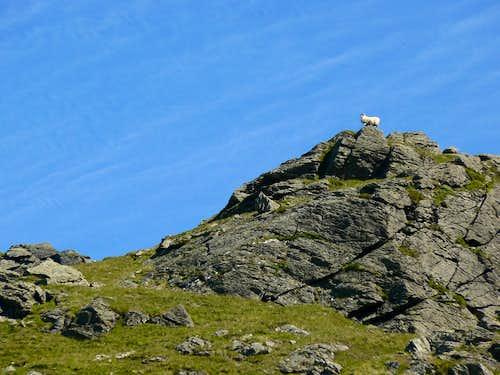 Suicidal Sheep???
