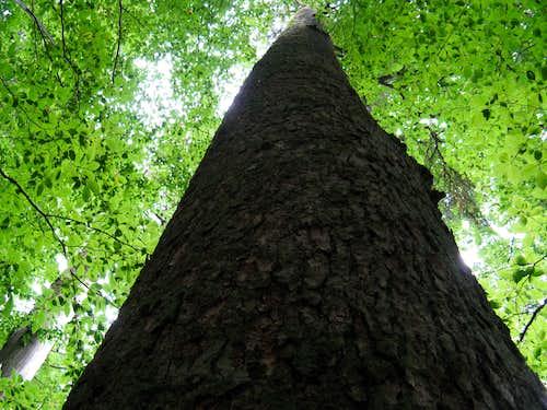 Fir tree 52 meters high
