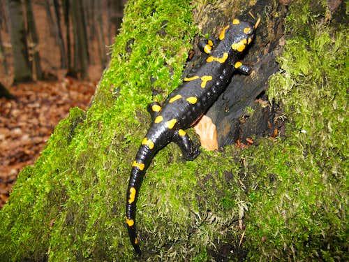 Spotty salamander <br> <i>(Salamandra salamandra)</i>
