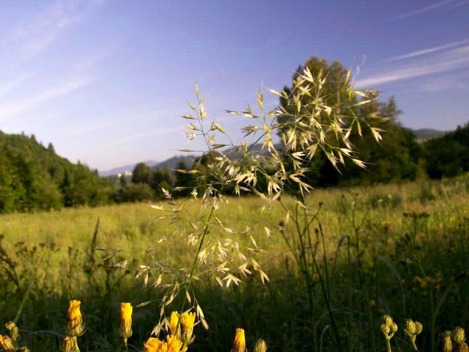 Yellow Oat-grass...