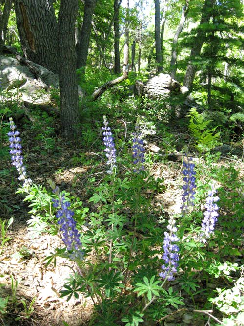 Lupine along the trail