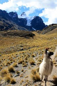 Llama following me in Bolivia