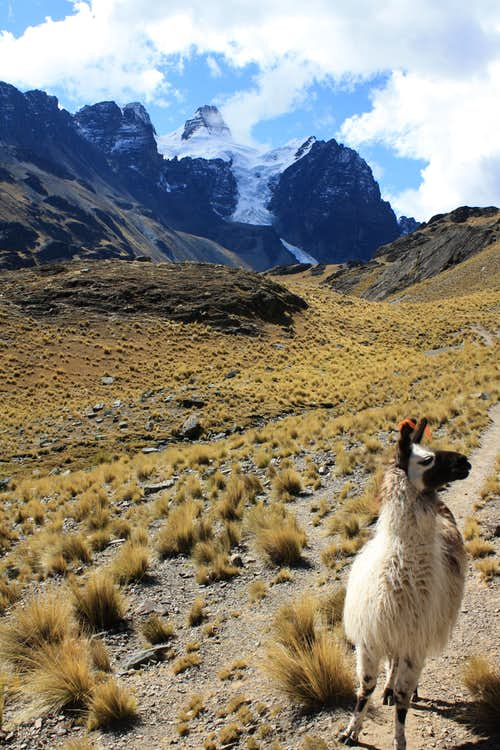 Llama following me in Bolivia