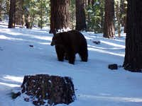 One of the biggest Black Bears I've ever seen!