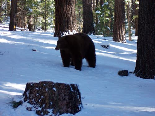 One of the biggest Black Bears I\'ve ever seen!
