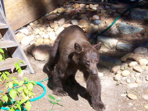 A juvenile Black Bear in our backyard.