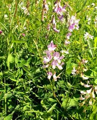 Wood Vetch...