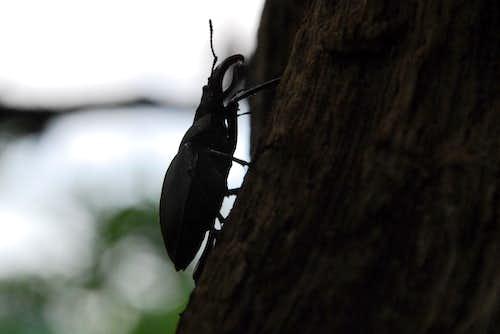 Nagy szarvasbogár (Lucanus cervus)