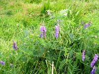Tufted Vetch ...